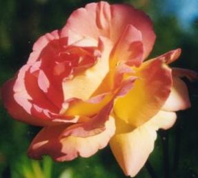 sanfte-kraft-rose